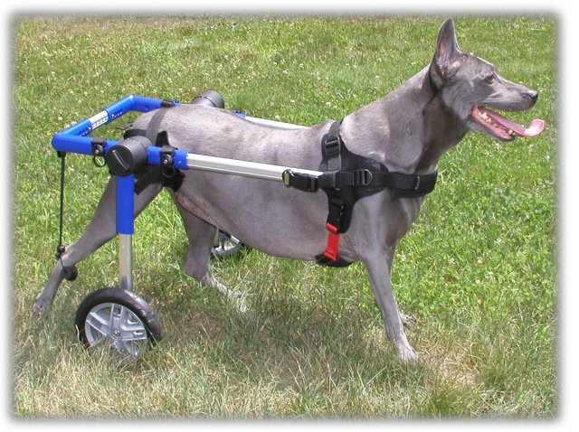 wheelchair-for-dog-mobility